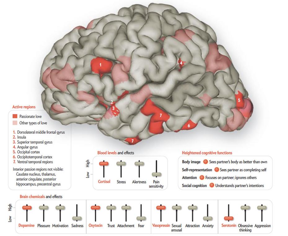 Creierul indragostit