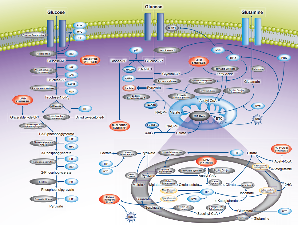 Metabolismul cancerului